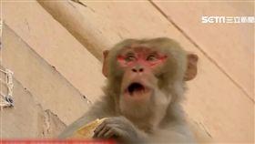 潑猴危機! 5000隻猴子印度街頭橫行搞破壞