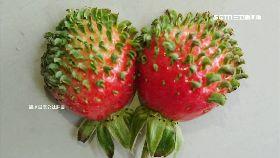 草莓長毛了1200