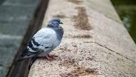 鴿子,示意圖/pixabay
