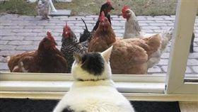 貓,雪球,雞,粉絲(圖/翻攝自scruffles_fatcat IG)