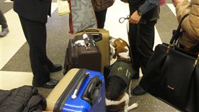 最可愛的防疫尖兵 老外被查獲還誇讚中國旅客日前入境日本攜帶10公斤豬肉特產,被檢疫犬發現而淚灑機場;台灣檢疫犬則曾有溫馨故事,一名愛狗的西方遊客被米格魯發現誤帶檢疫品入境,還誇讚檢疫犬。圖為檢疫犬發現違禁品坐在旅客旁。(防檢局提供)中央社記者楊淑閔傳真 107年12月16日