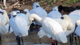 成龍濕地紀錄到V29長年進駐於成龍村的觀樹教育基金會12月10日在成龍村的泡水草澤區,發現一隻繫有腳環的黑面琵鷺,回報黑面琵鷺保育協會比對腳環顏色及個體特徵之後,經判斷確認是在韓國Suhaam島繫放後,從未接獲回報紀錄的黑面琵鷺V29。(林韋秀提供)中央社記者吳欣紜傳真  107年12月17日