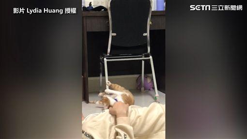 ▲戲癮發作的貓皇演一次給鏟屎官看。(圖/Lydia Huang 授權)