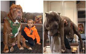 講到兇悍、攻擊性強,普遍應該都會聯想到比特犬!美國新罕布希爾州(New Hampshire)有個專門訓練狗狗的基地,他們不僅常在臉書上分享比特犬的日常,還因為飼養一隻被封為「世界上最大隻比特犬」浩克(Hulk)而爆紅,日前他們分享一段影片,只見就算是2名壯碩的男子,同時抱著比特犬也相當吃力。(圖/翻攝自DarkDynastyK9s臉書)