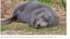 紐西蘭,海狗,斬首,棄屍,保育類動物 圖/RNZ