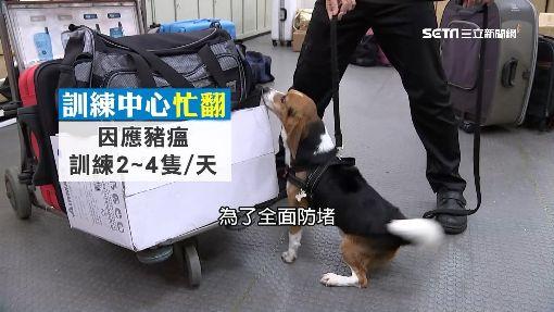 行李箱堆「藏陷阱」怎辨 檢疫犬訓練曝光