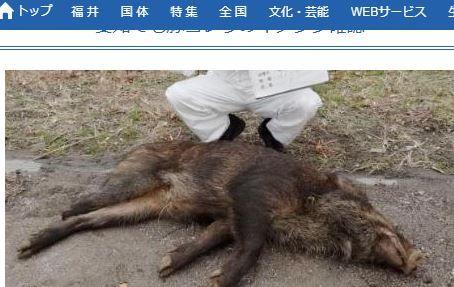 日本愛知縣感染豬瘟。(圖/翻攝自Fukuishimbun)