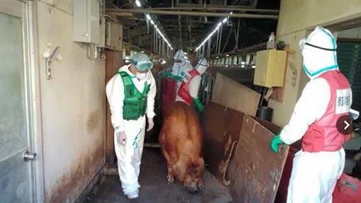 日本感染豬瘟。(圖/翻攝自Asahi)