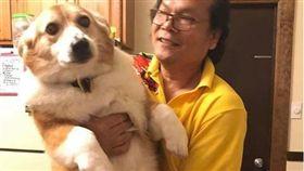 一般民眾對柯基的印象多半是圓滾滾、腿短的中型犬,但沒想到最近出現一隻體型逼近黃金獵犬大小的的柯基,被網友笑稱是「阿嬤養大的」讓牠意外爆紅,而主人為牠開設的IG帳號也已經吸引了2萬多名粉絲。(圖/翻攝自Noah the Chubby Corgi IG)  https://www.instagram.com/noahthechubbycorgi/?hl=zh-tw