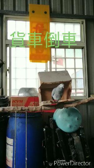 鸚鵡,爆廢公社,修車廠,口技(圖/翻攝自臉書爆廢公社)