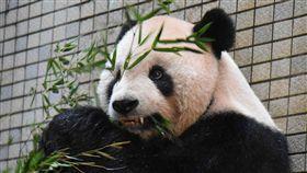 全球首例  大貓熊團團裝牙套民眾最近如果到台北市立動物園,會發現大貓熊「團團」裝了銀牙,閃閃發亮。動物園表示,這是全球大貓熊裝牙套首例,也替野生動物醫療專業發展創建里程碑。(台北市動物園提供)中央社記者梁珮綺傳真  107年12月24日