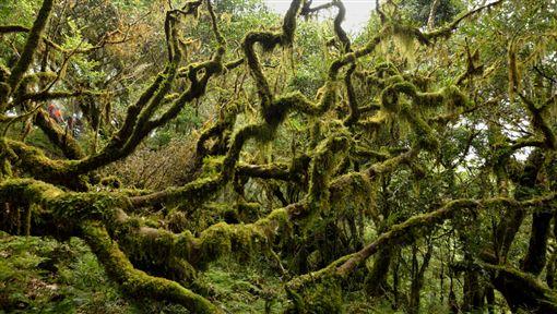 驚艷!百棵紅檜木群沉睡千年曝光 搭直升機再走5天才發現(圖/翻攝自台東林管處)