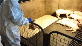 非洲豬瘟逼近  香港提高戒備非洲豬瘟蔓延至廣東,十分接近香港,香港當局已提高戒備。圖為香港漁農自然護理署人員20日巡查當地養豬場。(中通社提供)中央社  107年12月21日