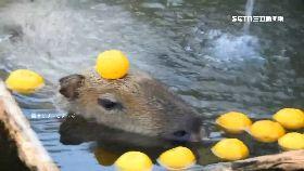 水豚萌泡湯1200