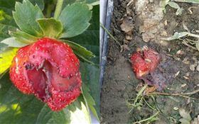 奧客!親子團大人放任孩「剪刀恐攻」草莓變汁、身上破洞!  圖/開心草莓園提供
