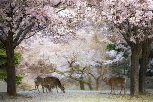 ▲春季時的奈良梅花鹿公園看起來特別夢幻。(圖/shutterstock.com提供)