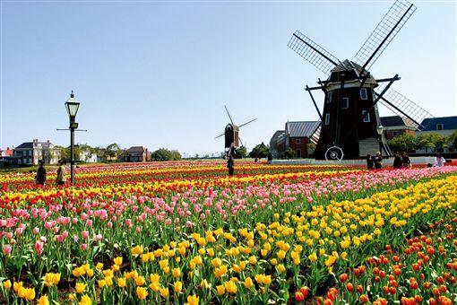 ▲彩色的鬱金香搭配歐式風車,讓豪斯登堡洋溢濃厚異國風情。