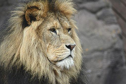 -獅子-(圖/取自pixabay)