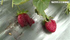 草莓遭破壞
