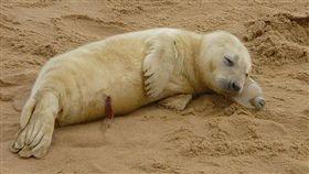 (圖/翻攝自推特)英國,霍西海灘,灰海豹,枕頭,寶特瓶