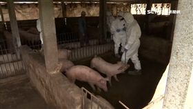 非洲豬瘟,豬(圖為防疫人員在金門養豬場檢驗)
