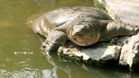 水庫抓巨鱉1200
