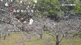 六龜櫻花開1200
