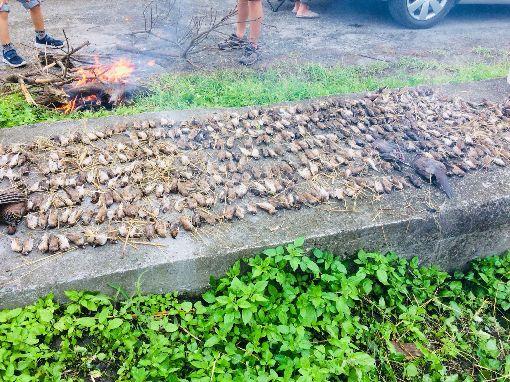 逾千隻鳥類屍體散布稻田間(2)台東縣卑南鄉一塊農田5日被民眾發現大量鳥類屍體,經清點數量達逾千隻,相關單位已採樣送驗調查中。(民眾提供)中央社記者李先鳳傳真 108年1月6日