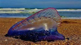 澳洲東北海岸過去數天已有超過3000人遭到僧帽水母螫傷。(Portuguese man o' war jellyfish)(圖/翻攝自@Elsibeth_推特)