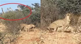 搖滾區!獵豹「兩王戰一后」激烈3P 人類長頸鹿搶偷窺(圖/翻攝自Kruger Sightings YouTube)