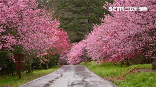 武陵農場,櫻花季,公路總局,疏運,/武陵農場提供