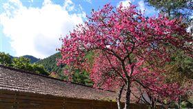 武陵農場山櫻花搶先綻放受暖冬氣候影響,武陵農場內的山櫻花目前已開7成,和去年的開花時間相比,提早了近一個月。(武陵農場提供)中央社記者趙麗妍傳真  107年1月9日