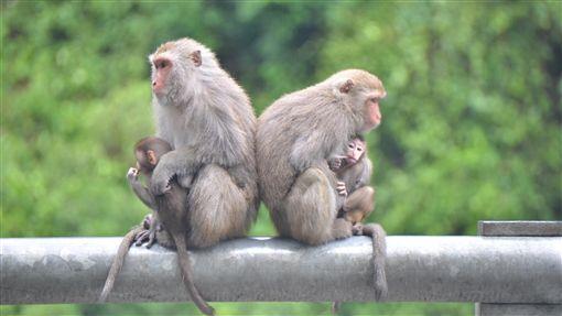 台灣獼猴從保育類名單除名 仍不得任意獵捕台灣獼猴自9日起將從保育類動物名單中正式除名,不過台東縣政府也提醒民眾,儘管除名變成一般類動物,管轄法規也只是從刑法變成行政法,仍然不能隨意獵捕,違者也會受罰。(檔案照片)中央社記者盧太城台東攝 108年1月8日
