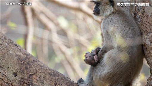 葉猴媽媽抱著死去猴子寶寶。(圖/Caters TV/AP授權)