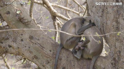另一隻猴子前來安慰猴媽媽。(圖/Caters TV/AP授權)