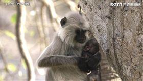 猴媽媽無助地抱著死去孩子。(圖/Caters TV/AP授權)