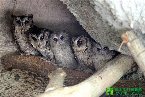 貓頭鷹,領角鴞,築巢,招財納福  (圖/台北市立動物園)