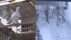 男為報復房東 偷40隻名貴信鴿煮火鍋吃了(圖/梨視頻)
