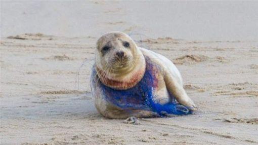 英國,海灘,海豹遭尼龍網勒頸(圖/翻攝自Surfers Against Sewage臉書)