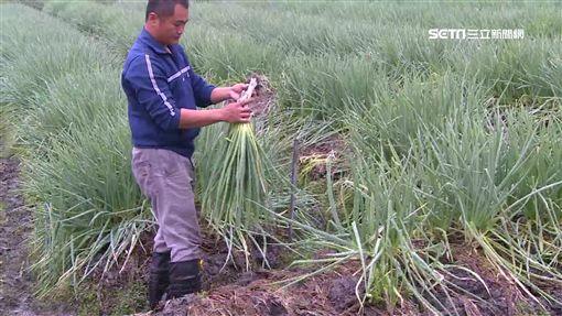 三星蔥拍賣價10年新低 蔥農嘆:不敷成本