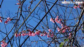 新北市,櫻花,新北賞櫻季,新北市綠美化環境景觀處,賞花快報