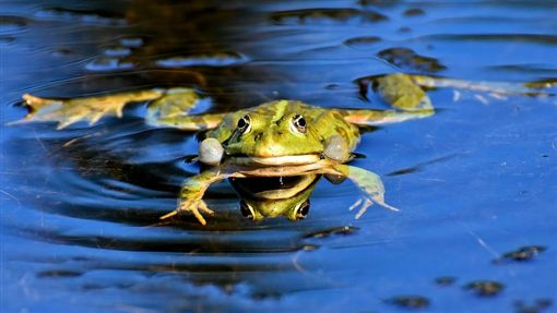 -青蛙-(圖/取自pixabay)