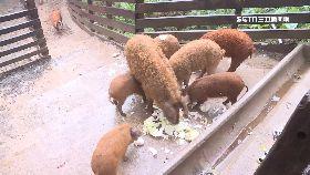 綿羊豬稀有1800