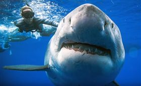 史上最大! 6公尺大白鯊現身夏威夷(圖/翻攝自Star-Advertiser YouTube)