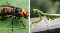 ▲螳螂VS虎頭蜂(圖/翻攝網路)