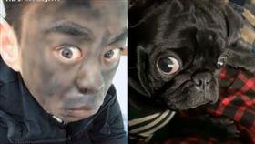 巴哥聽到「我愛你」超失落…他臉塗黑模仿 網笑:神還原(圖/翻攝自Happy Dogs臉書)