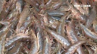 繼鮭魚之後 換南美蝦被中國檢出病毒