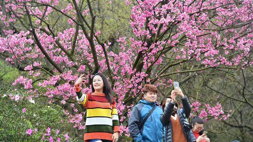 陽明山花季開幕  民眾開心自拍台北市陽明山花季22日開幕,吸引民眾前來賞花,開心在櫻花樹下自拍。中央社記者王飛華攝  107年2月22日