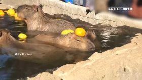 水豚泡溫泉1200