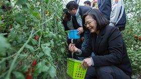 蔡英文總統26日到嘉義縣和青農們交換對農業政策的想法,同時也進蕃茄園採蕃茄。(圖/翻攝蔡英文臉書)